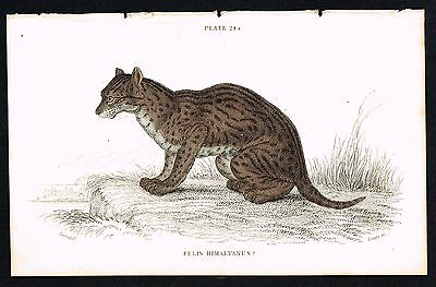 1834 Antique Print - Himalayan Serval Wild Cat, Hand-Colored Engraving - Jardine