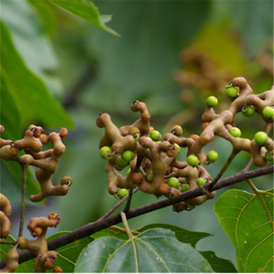 Honey Raisin Tree Seeds About 20 Seeds/Package Hovenia Study Hardy Sweet Fruit