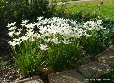 5 White Rain Lily  Bulbs with leaves & roots (Lilly, Lilies)