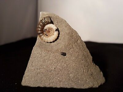 TWF - Calcite and Sphalerite Promicroceras sp. Ammonite, Lyme Regis, Dorset, UK