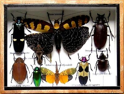 9 Real Insect Rare Insects Display Beetle Taxidermy in Wood Box Collectible Gift