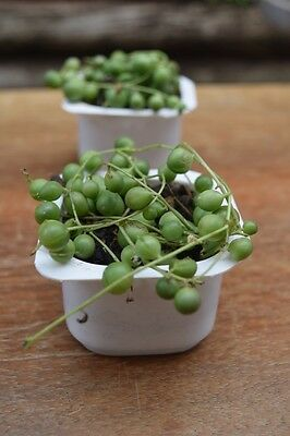 Succulent String of Pearls  (PICK UP ONLY)