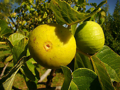 hardy Fig Tree plant FICUS CARICA Pedro Yellow sweet yellow fruit, self fertile