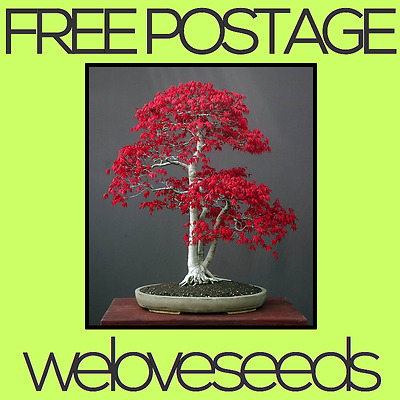 LOCAL AUSSIE STOCK - Japanese Red Leaf Maple, Bonsai Tree Seeds ~20x FREE SHIP