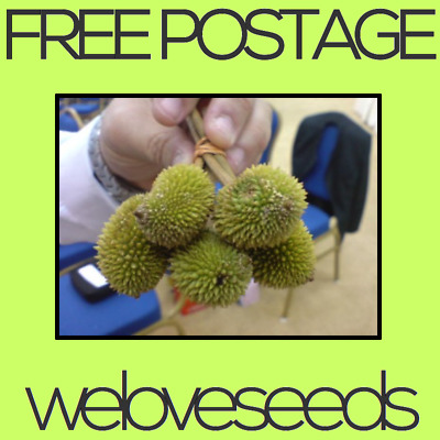 LOCAL AUSSIE STOCK - Heirloom Mini Durian, Fruit Tree Seeds ~5x FREE SHIPPING