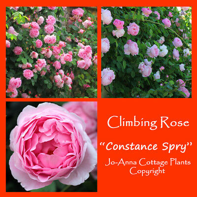 Constance Spry Climbing Rose Very Strong Scented Bare Root ** Any 4 For 3 **