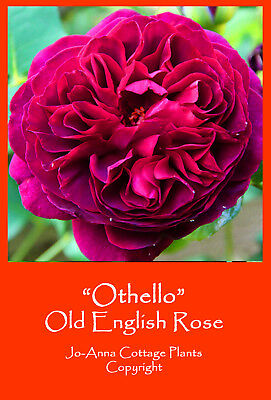 Othello Old English Rose David Austin Varieties Bare Root ** Any 4 For 3 **