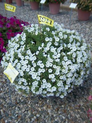 6 spreading petunia seeds SHOCK WAVE COCONUT The best for baskets, groundcover
