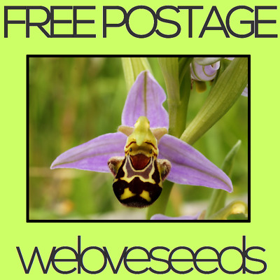 LOCAL AUSSIE STOCK - Rare Ophrys Apifera, Bee Face Orchid Seeds ~10x FREE SHIP