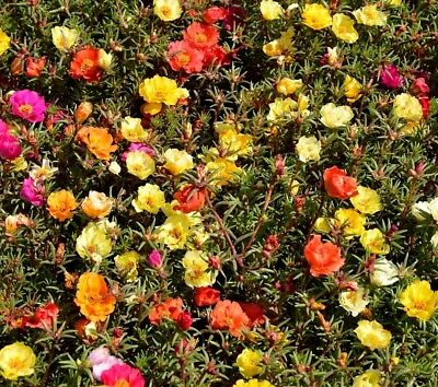DOUBLE PORTULACA MOSS ROSE Mix DROUGHT TOLERANT! Dry Soil 300 Seeds
