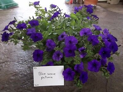 6 spreading petunia seeds WAVE BLUE The best for baskets, perfect as groundcover