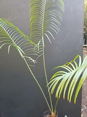 Cycas pectinata from South East Asia