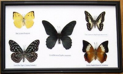 Rare Real 5 Butterfly Insect Display Taxidermy in Wood Frame Collectible Gift