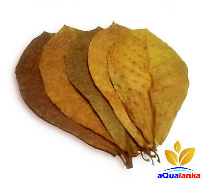 25XL Best Indian Almond Leaves (Catappa) 6 -10 Inches Shrimp, Betta, Discus