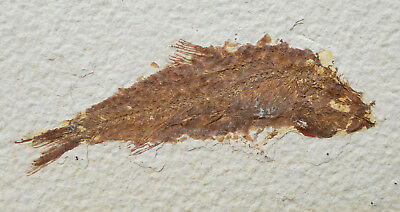 Fossil Fish Knightia Eocene Green River formation Wyoming USA. Ref:D.KN1 fossils