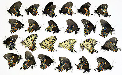 24 SPICEBUSH and TIGER  Swallowtail specimens UNMOUNTED butterfly FREE SHIPPING