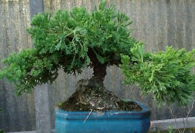 Bonsai Ginepro Procumbens