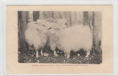 VINTAGE POSTCARD  ANGORA'S FROM THE FEDERAL FLOCK BLANCHTOWN  S.A. 1900s