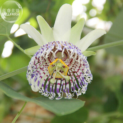Passiflora actinia Flower Seeds 30 seeds outer petals center passion fruits