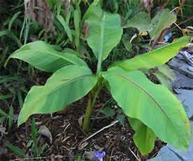 Young Musa Basjoo,Japanese Hardy Banana plant,1Lpot,40-50 cms,Tropical foliage