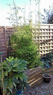 BA8 0RS - Two 6 foot plus Bamboos