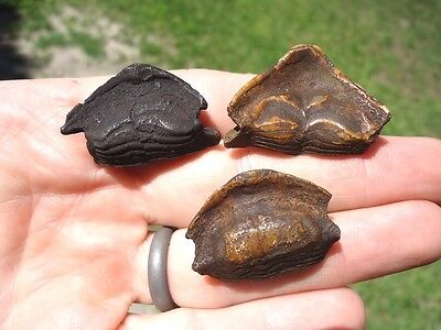 3 Rare Eocene Porcupine Fish Mouthplates Florida Fossils Fossil Tooth Teeth Jaw