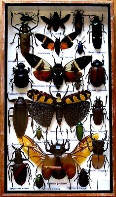 21 Real Mounted Insect Boxed Rare Insects Display Taxidermy Entomology Zoology