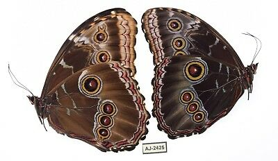 morpho helenor ssp from puebla mexico PAIR aj-2425