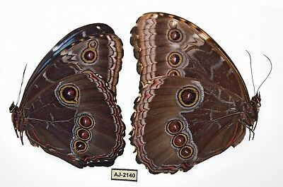 morpho helenor ssp from puebla mexico PAIR aj-2140