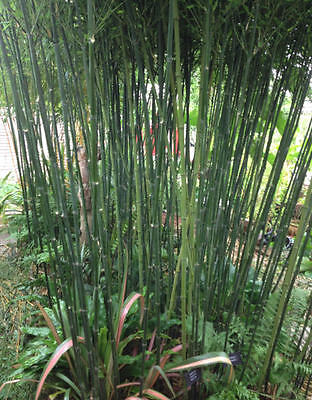 Bamboo plant / Phyllostachys bissetii / Bisset's bamboo