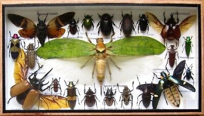 21 Real Insect Display Taxidermy Entomology Beetle Big Set in Box Collectible