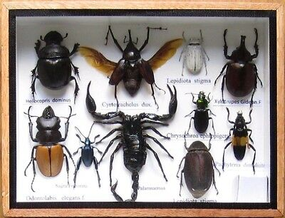 10 Real Rare Insect Display Taxidermy Entomology Beetle in Box Collectible
