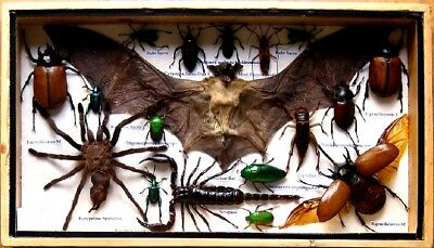 18 Real Insect Display Taxidermy Entomology Beetle Big Set in Box Collectible