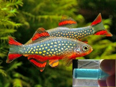 30 60 90 rasbora galaxy fish eggs breeding pearl danio methylene blue roe spawn