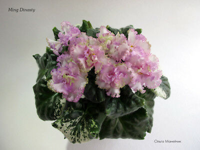 African Violet / Plant / Ming Dynasty variegated-rare