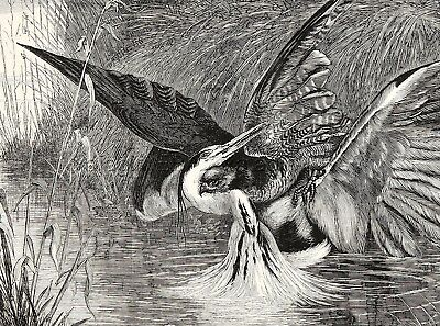 Bird Heron Vs Hawk in Fight to Death, Large 1870s Antique Engraving Print