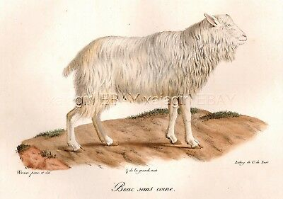 Goat Polled Hornless, Large Folio 1840s Antique Chromolith Color Print
