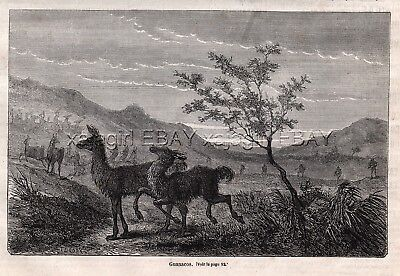 Guanaco Wild Llama Hunting in Patagonia 1870s Antique Engraving Prints & Article