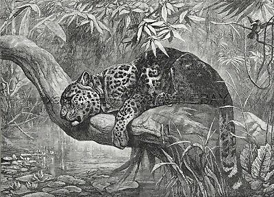 Jaguar Panther Napping Resting on Tree in Forest, Large 1880s Antique Print