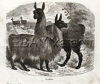 Llama Herd, Pretty Antique 1870s Print