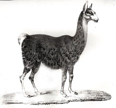 LLama Lama, Antique 1837 Engraving Print (175 Years Old)