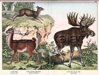 LLAMA Moose & MuskDeer, Antique 1880s Color Print