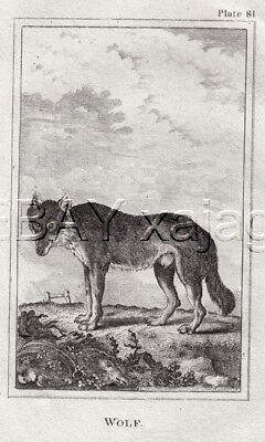 WOLF Gray Timber Wolf, 1812 Copper Engraving Print