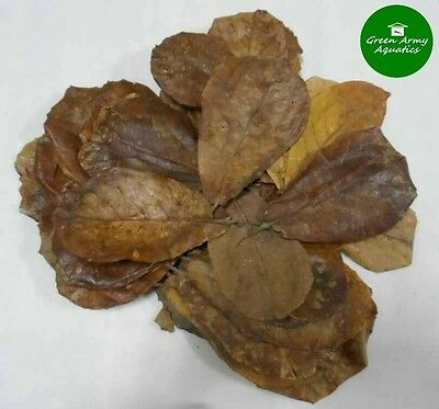 10 x Indian Almond Leaves