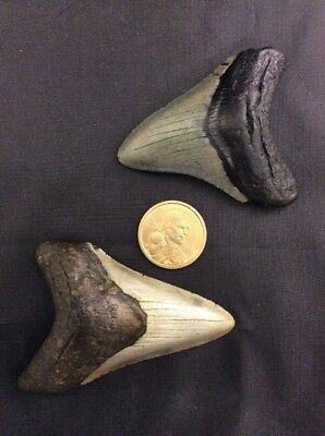 """Pair Of Beautiful (3.2"""" & 3"""")Fossil Megalodon Shark Tooth (17-G7)"""