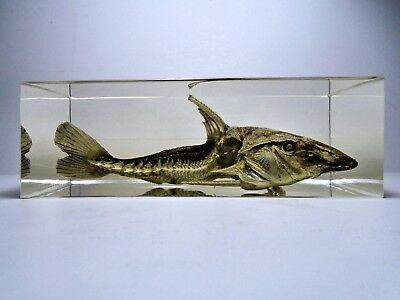 OXYDORAS NIGER. TURUSHUQUI RIPSAW AMAZON CATFISH. Embedded in clear resin.