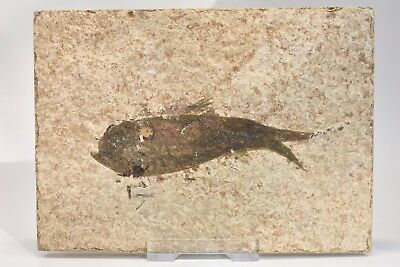 fish fossil, nightingale Green River fish on the matrix,