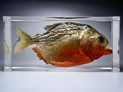 RED-BELLIED PIRANHA. PYGOCENTRUS NATTERI. Embedded fish in clear resin.