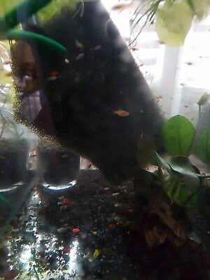20 babies of tropical fish guppy, platy
