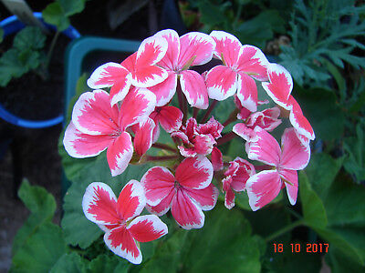 Pelargonium 'Mrs Wren', Geranium, peach pink with white edges flowers, 1 plant